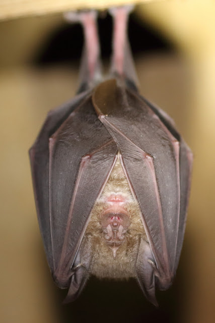 A Greater Horseshoe Bat – Photo copyright Michael Symes (All Rights Reserved)