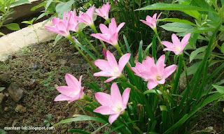 Bunga bawang bawangan kecil