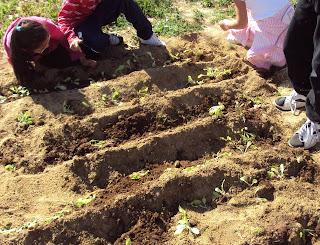 plantando lechuga huerto escolar