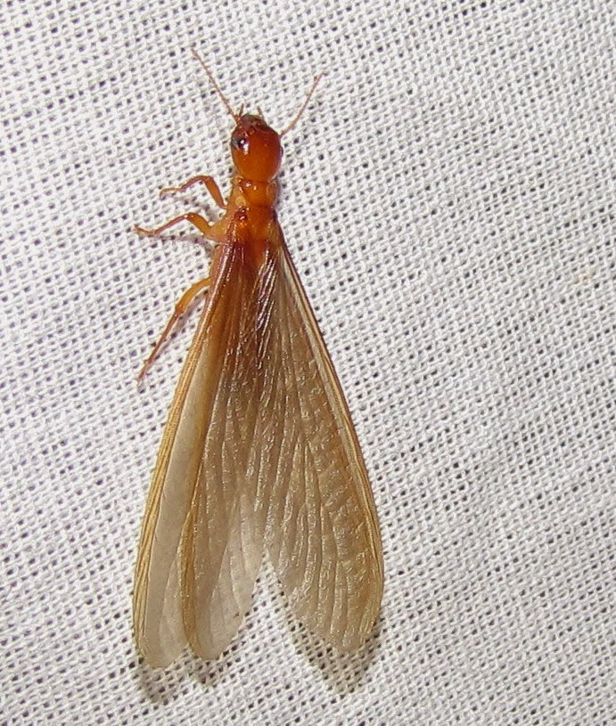 Bug Eric Flying Ants