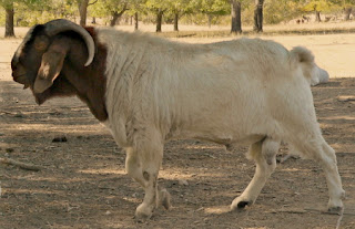 ذكر الماعز