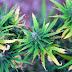 In Historic Move, Vermont Legalizes Recreational Marijuana with State Legislature