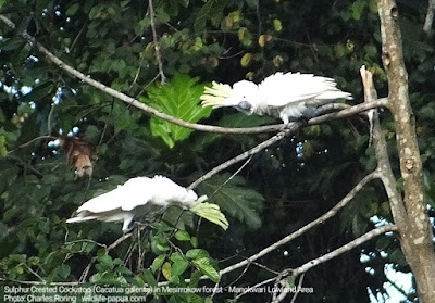 White cockatoo live in lowland and lower montane forest of Manokwari regency in West Papua.