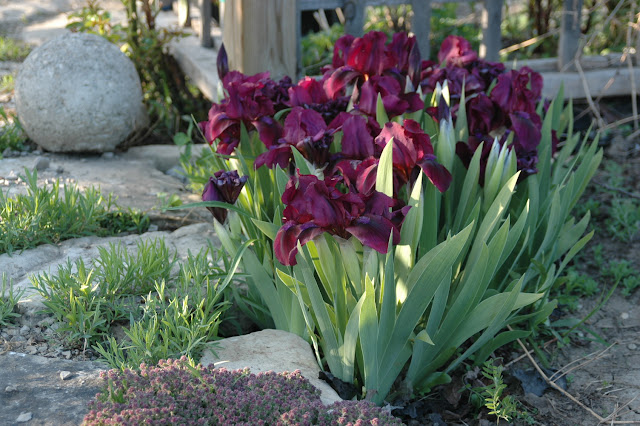 """Iris pumila  """"Cherry Garden"""""""