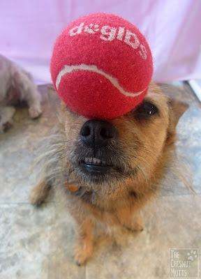 Jada balancing a DogIDS tennis ball