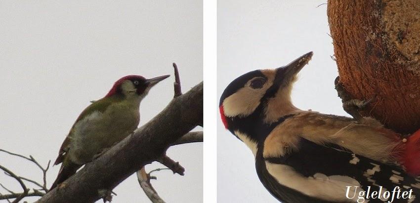 hvilke fugler spiser bær