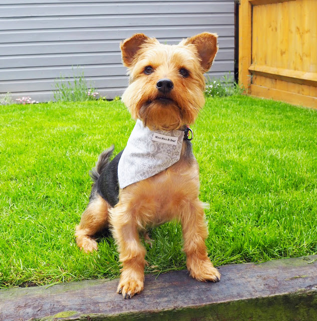 yorkshire terrier, yorkie, cute dog, dog clothes