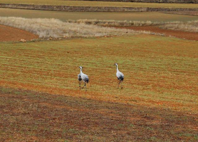 Familia de grullas en el campo