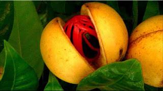 gambar buah pala