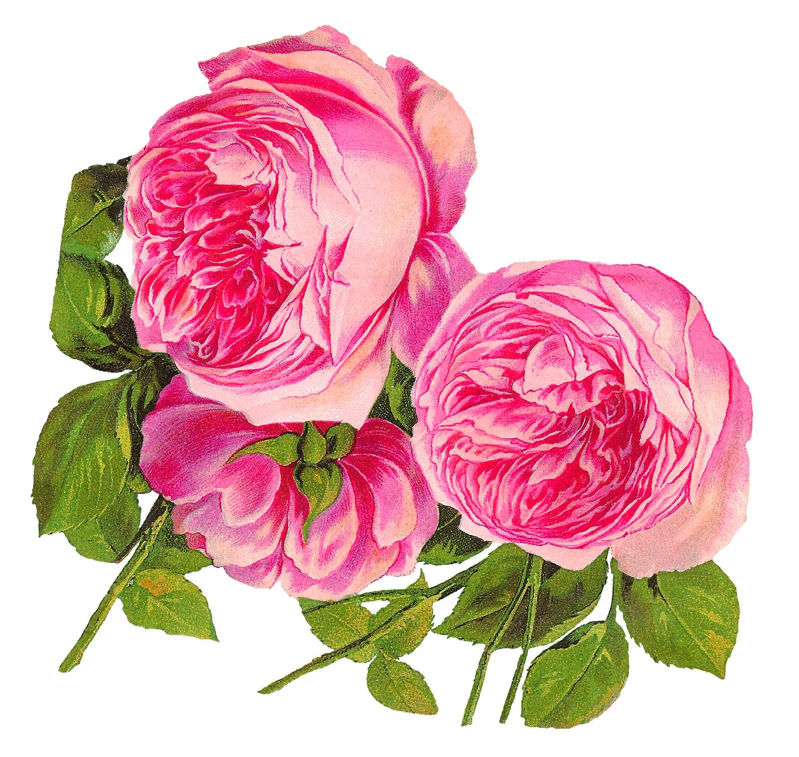 Antique images digital botanical artwork pink rose clip art flower digital botanical artwork pink rose clip art flower illustration download mightylinksfo