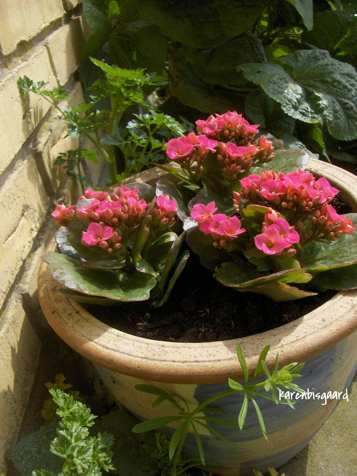 Ahorn October Glory Karens Nature Photography Red Blooming Mini Kalanchoe In Pot