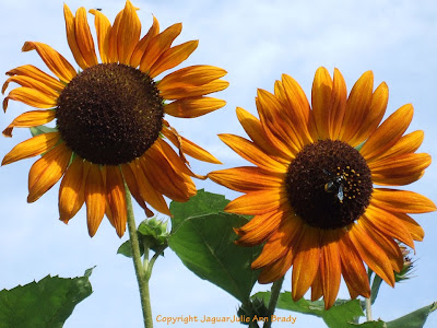 A Pretty Duet of Autumn Beauty Sunflower Blossoms with Bee