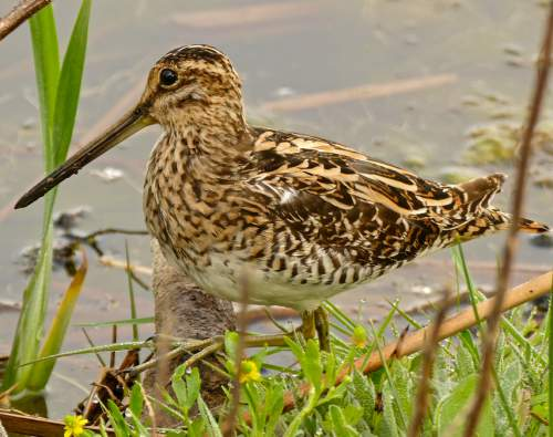 Birds of India - Photo of Common snipe - Gallinago gallinago