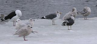 comparison of Lesser Black-backed Gull hybrid and Lesser Black-backed Gull in Newfoundland