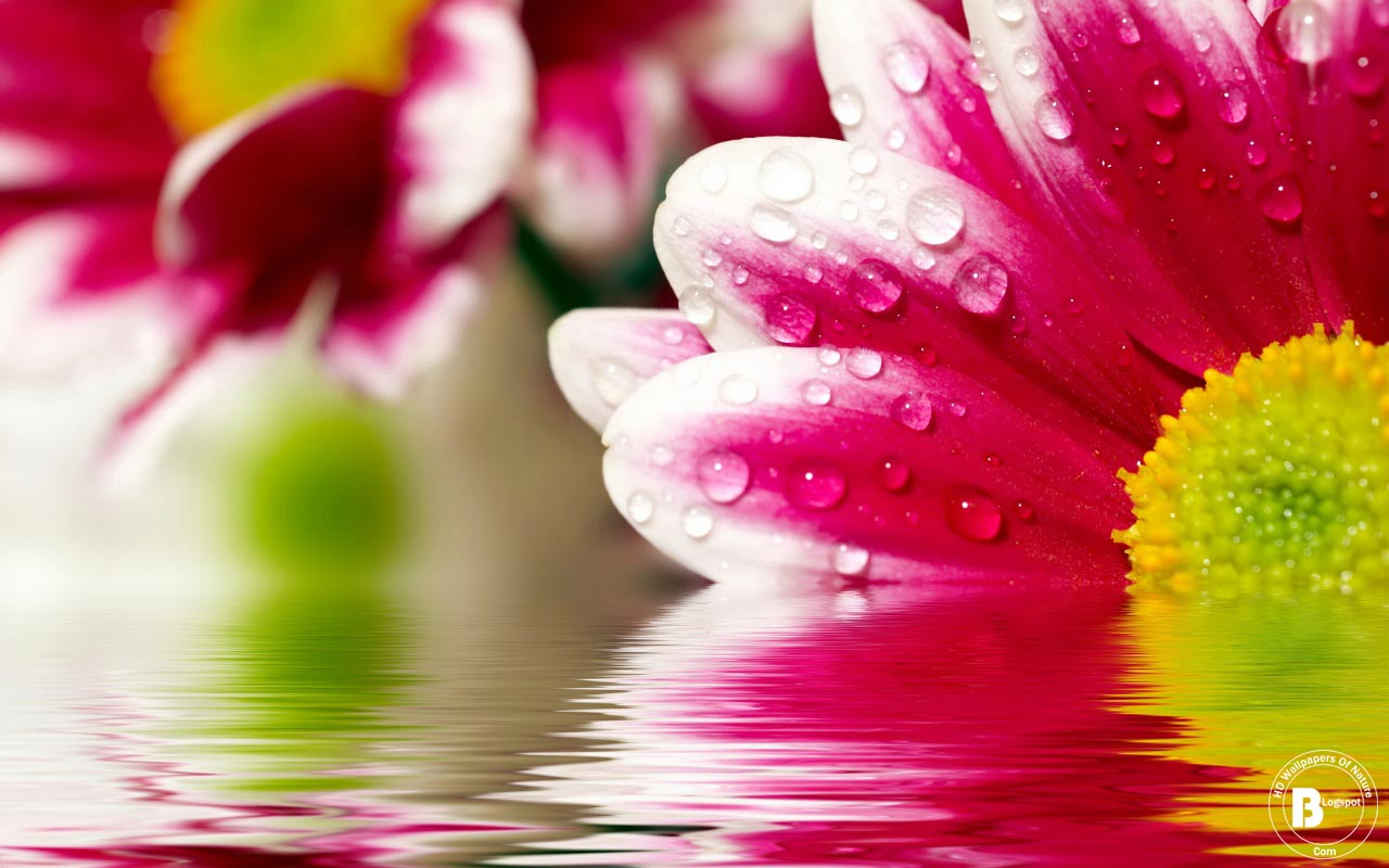 Hd Flower Backgrounds: HD Flower Wallpapers For Pc