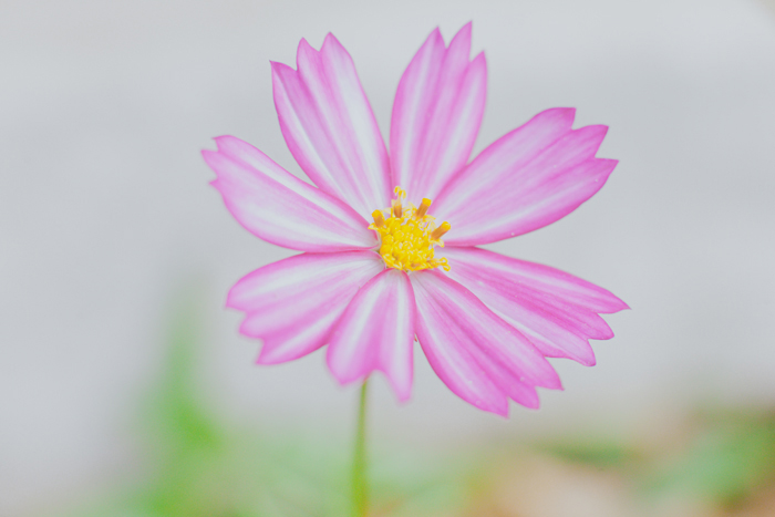 cosmos pink flower photo