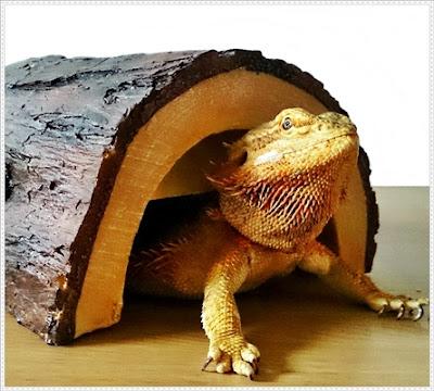bearded dragon health and disease