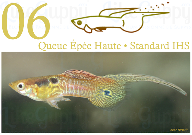 guppy-queue-epee-haute-standard-ihs