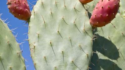 Cultivo del Nopal o Chumbera