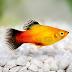 7 Reasons to keep Platy fish at home