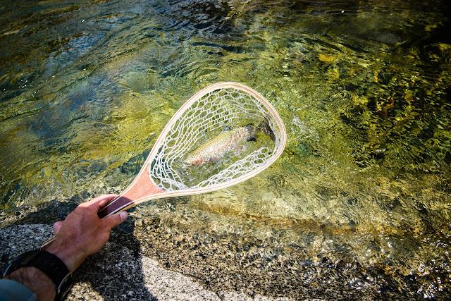 Rainbow Trout in Net