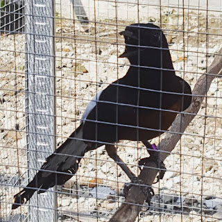 Harga Burung Murai Bordan Beserta Ciri Cirinya