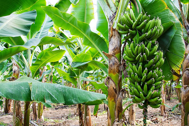 Banana Leaves Benefits/AMAZETIFY