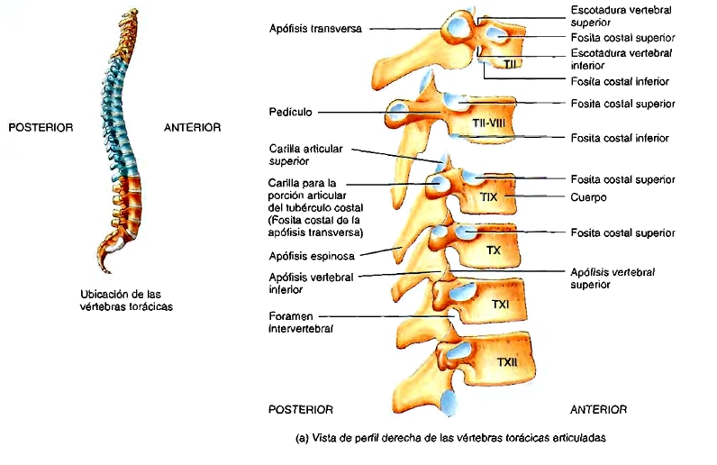 Columna vertebral: características, estructura, funciones, regiones ...