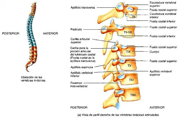 Región torácica columna vertebral anatomía