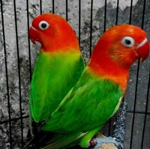Download 54 Foto Gambar Burung Lovebird Jenis Biola HD Paling Unik Gratis