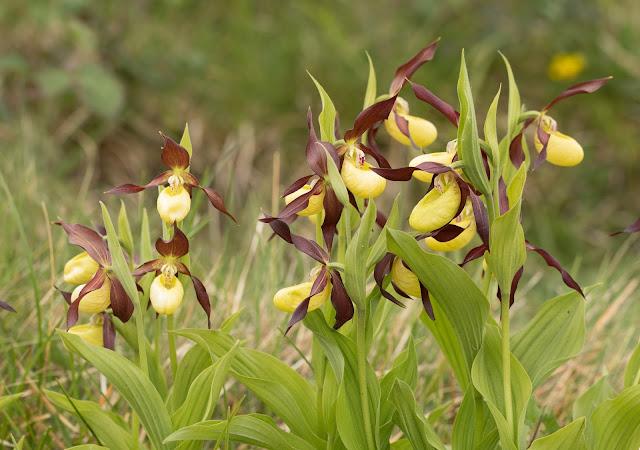 Lady's Slipper Orchids - Gait Barrows, Cumbria