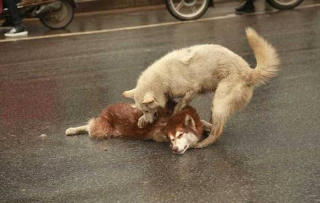 شاهدوا ماذا فعل هذا الكلب بجانب صديقه الميت  لحظة تكسر القلب