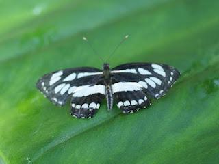 Le Pierrot - Athyma perius