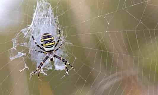 Wasp spider Argiope bruennichi on its web in Cornwall