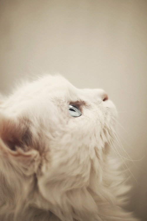 White Cat Breeds With Blue Eyes - Cats Types
