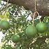Bandidos furtam 50 toneladas de abacate em Arapongas, no norte do Paraná