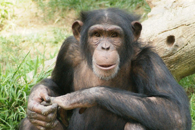 Monkey, Ape