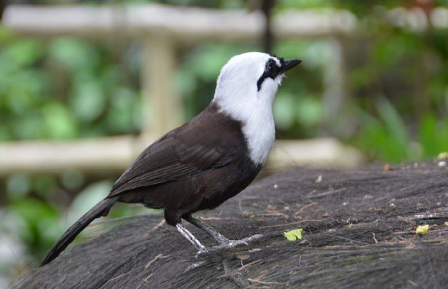 Tips Membedakan Burung Poksay Jantan Dan Betina