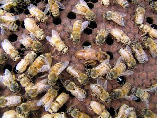 reine parmi les abeilles