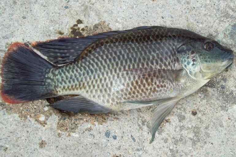 2 Umpan Memancing Ikan Mujair Danau Paling Jitu
