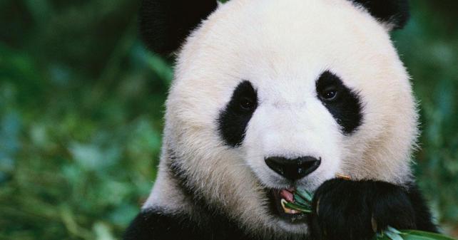 Contoh Report Text: Panda + Terjemahan