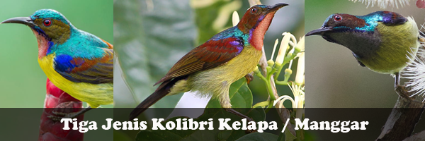 Mengenal 3 Jenis Kolibri Kelapa Yang Ada Di Indonesia Rumah Kolibri