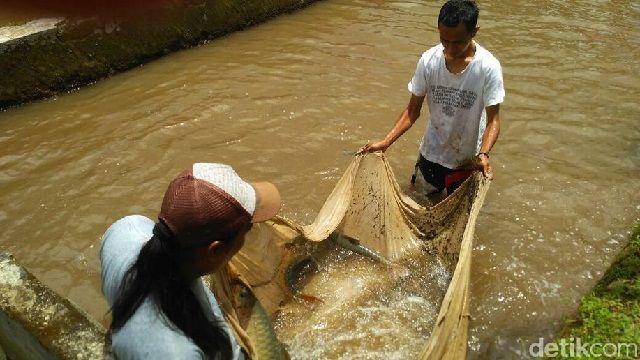 Budidaya Ikan Batak