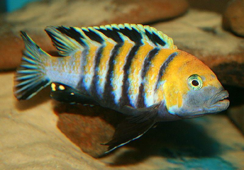 Gambar jenis jenis ikan cichlid ( Malawi Cichlids ) - Dogtooth Cichlid ( Cynotilapia afra )