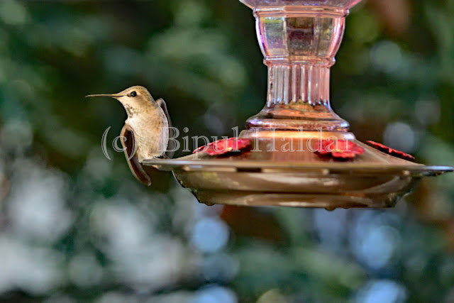Anna's Hummingbird feeding from hummingbird feeder