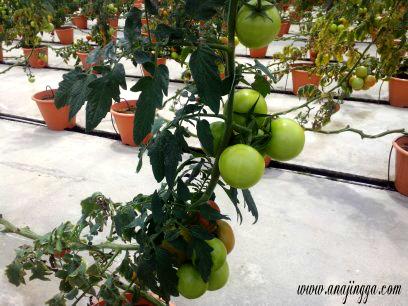 pokok tomato
