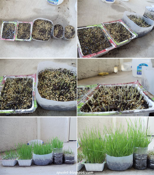 growing wheatgrass at home using wheat grains