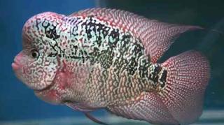 Kualitas pada ikan pada umumnya dibedakan menjadi b Kabar Terbaru- PEDOMAN KRITERIA KONTES LOUHAN