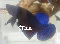 5 Star Betta Fighter from Indonesia