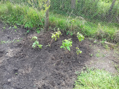 Allotment Growing - Raspberries